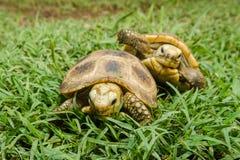 Черепаха коробки на траве Стоковые Фотографии RF