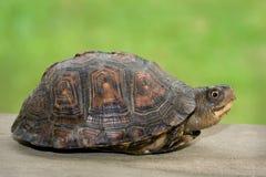 черепаха крылечку малая деревянная стоковое изображение rf