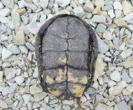 Черепаха лежит вверх ногами на задней части Обычная черепаха реки воздержательных широт Черепаха старый гад Стоковые Изображения RF