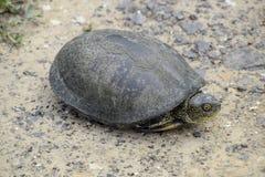 Черепаха лежит на чуть-чуть почве Обычная черепаха реки воздержательных широт Черепаха старый гад Стоковое Фото
