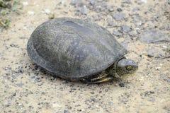 Черепаха лежит на чуть-чуть почве Обычная черепаха реки воздержательных широт Черепаха старый гад Стоковые Изображения