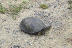 Черепаха лежит на чуть-чуть почве Обычная черепаха реки воздержательных широт Черепаха старый гад Стоковые Фото