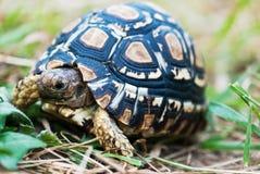 черепаха леопарда детали стоковые фото