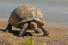 Черепаха леопарда идя рядом с дорогой Стоковые Изображения RF