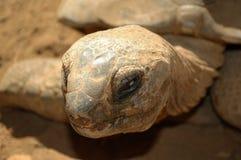 Черепаха Мадагаскара Стоковая Фотография