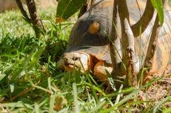 Черепаха Мадагаскара Стоковая Фотография RF