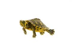 черепаха младенца стоковое фото