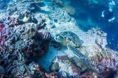 Черепаха моря водолаза скуба наблюдая Стоковые Изображения RF