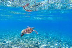 Черепаха моря в голубой воде Морские заплывы черепахи в отмелой морской воде Стоковое фото RF