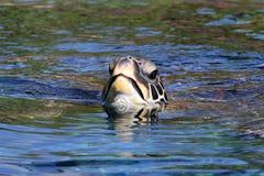 черепаха моря отделывая поверхность стоковые изображения rf