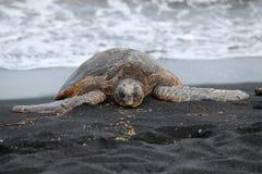 черепаха моря отработанной формовочной смеси пляжа Стоковые Фото