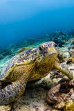 Черепаха моря сидя на рифе в Sipadan, Малайзии Стоковые Фотографии RF