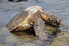 черепаха моря утеса Стоковое Фото