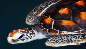 черепаха моря Стоковые Изображения RF