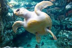 черепаха моря Стоковое Изображение