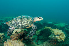 черепаха моря hawksbill Стоковое фото RF