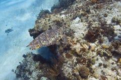 черепаха моря imbricata hawksbill eretmochelys стоковое фото