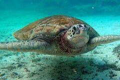 черепаха моря imbricata hawksbill eretmochelys Стоковая Фотография RF