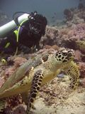 черепаха моря sabang philippines пикирования Стоковые Изображения