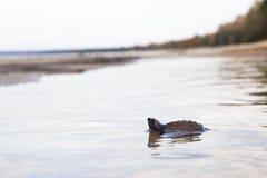 Черепаха младенца Стоковое Изображение