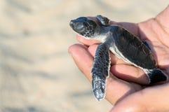 Черепаха младенца Стоковые Изображения