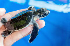 Черепаха младенца Стоковые Изображения RF