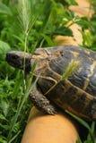 Черепаха над трубой преодолевая препятствия Стоковые Фото