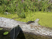 Черепаха на большом журнале Стоковое Изображение RF
