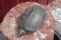 Черепаха на деревянном красном пне Обычная черепаха реки воздержательных широт Черепаха старый гад Стоковое Изображение