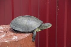 Черепаха на деревянном красном пне Обычная черепаха реки воздержательных широт Черепаха старый гад Стоковое фото RF
