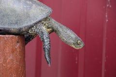 Черепаха на деревянном красном пне Обычная черепаха реки воздержательных широт Черепаха старый гад Стоковые Изображения RF
