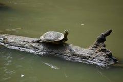 Черепаха на журнале Стоковое Фото