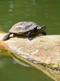 Черепаха на журнале Стоковое Изображение