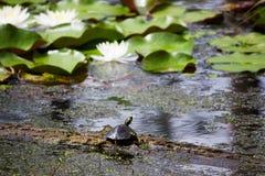 Черепаха на журнале стоковые изображения rf