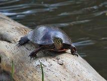 Черепаха на журнале Стоковая Фотография