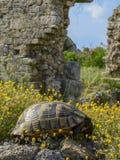 Черепаха на камне среди желтых цветков на предпосылке старых руин стоковые изображения