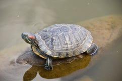 Черепаха на камне Стоковое фото RF