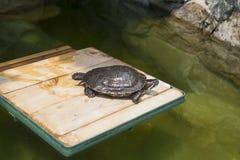 Черепаха на подиуме Стоковые Фото