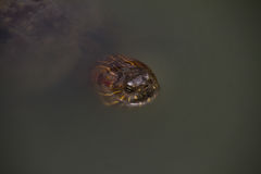 Черепаха на пруде Стоковое Фото