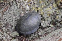 черепаха на расшиве дерева Обычная черепаха реки воздержательных широт Черепаха старый гад Стоковые Изображения