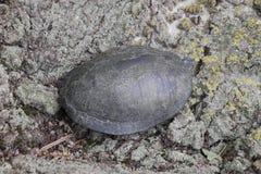 черепаха на расшиве дерева Обычная черепаха реки воздержательных широт Черепаха старый гад Стоковое фото RF
