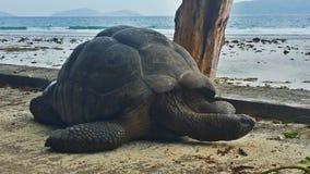 Черепаха на Сейшельских островах Стоковые Изображения RF