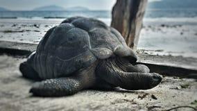 Черепаха на Сейшельских островах Стоковые Изображения