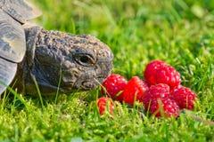Черепаха на лужайке ест raspberrys Стоковое Изображение RF