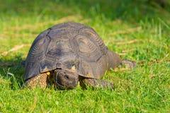 Черепаха на лужайке Стоковые Изображения RF