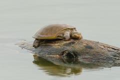 Черепаха на утесе в солнечности Стоковые Изображения