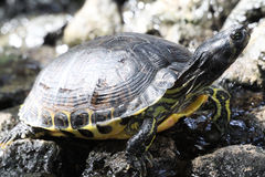 Turrtle Стоковое Изображение