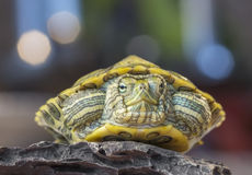 Черепаха на утесе Стоковые Изображения