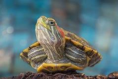 Черепаха на утесе Стоковые Фото