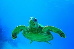 Черепаха носа хоука стоковые изображения rf